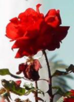 a red rose sniffing the air!