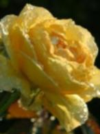 yellow rose dripping with dew