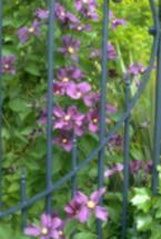 lovely violets by the garden gate