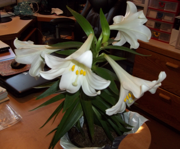 My Easter Lily gift - a first ever!