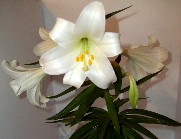 closeup of my Easter lily
